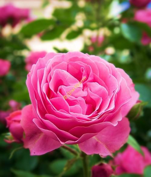 куст розы для посадки