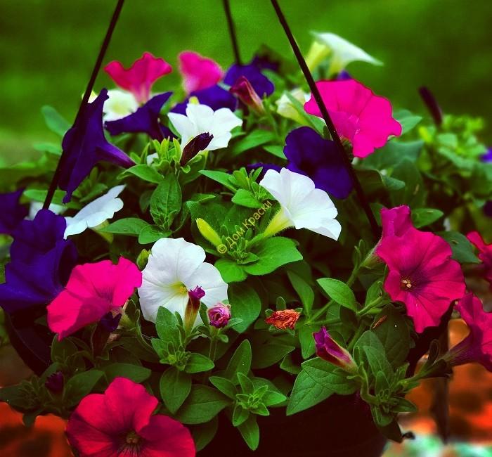 выращивание петуний в саду и дома