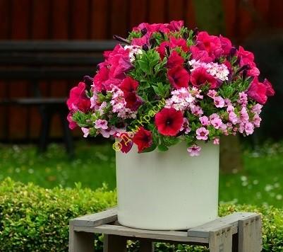 выращивание петунии в саду и дома_3