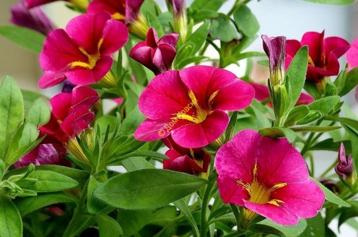 выращивание петуний дома и в саду